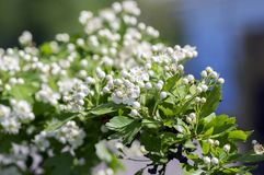 Crataegus laevigata hawthorn tree in bloom during springtime, branches with green leaves and group of flowers and buds petals. Crataegus laevigata hawthorn tree Stock Image