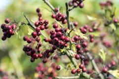 Crataegus laevigata red ripened fruits on branches, autumn nature. Crataegus laevigata red ripened fruits on branches, autumn season in the garden Stock Photography