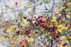 Crataegus laevigata red ripened fruits on branches, autumn nature. Yellow leaves Royalty Free Stock Photos