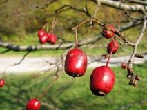 Crataegus laevigata. Ripe red fruits Crataegus laevigata Royalty Free Stock Photography