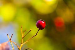 Crataegus leavigata. Hawthorn Berries Stock Photos
