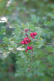 Crataegus Monogina. Crataegus Monogyna commonly called hawthorn, with its red berries in autumn Stock Images