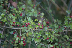 Crataegus Monogina. Crataegus Monogyna commonly called hawthorn, with its red berries in autumn Stock Photos