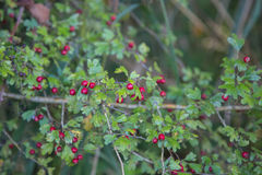 Crataegus Monogina. Crataegus Monogyna commonly called hawthorn, with its red berries in autumn Stock Photography