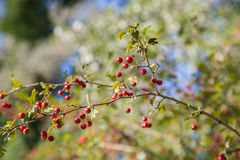 Crataegus Monogina. Crataegus Monogyna commonly called hawthorn, with its red berries in autumn Royalty Free Stock Images