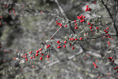 Crataegus Monogina. Crataegus Monogyna commonly called hawthorn, with its red berries in autumn Royalty Free Stock Photography