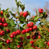 Crataegus monogyna fruits. Berry fruits of crataegus monogyna plant, hawthorn Royalty Free Stock Photo