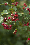 Crataegus monogyna. Hawthorn tree (Crataegus monogyna) with red fruits Royalty Free Stock Images