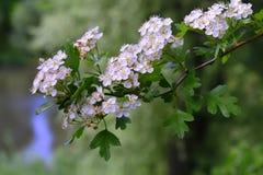 Crataegus monogyna Jacq. Flower of Crataegus monogyna Jacq Royalty Free Stock Images