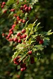 Crataegus monogyna. Known as common hawthorn or single-seeded hawthorn, is a species of hawthorn native to Europe, northwest Africa and western Asia Royalty Free Stock Photography