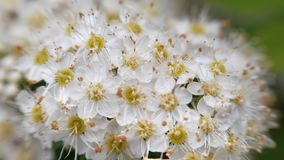 Crataegus monogyna in spring. White inflorescences sway in the wind. Flowers of hawthorn in flowering periud stock video