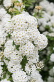 Crataegusmonogyna. White flowers spring season Stock Photos