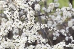 Crataegus monogyna white hawthorn bush. Compsoition Stock Photos
