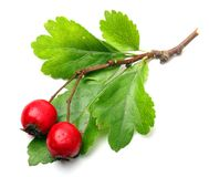 Crataegus oxyacantha - Hawthorn. The total complex of plant constituents is considered valuable as a remedy for those with circulatory and cardiac problems Stock Photo