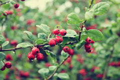 Crataegus oxyacantha. In the summer after the rain Stock Images