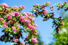 Crataegus Pauls Scarlet. Blooms in the botanical garden Stock Photos