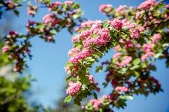 Crataegus Pauls Scarlet. Blooms in the botanical garden Stock Image