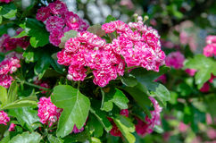 Crataegus Pauls Scarlet blooms. In May Royalty Free Stock Image