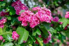 Crataegus Pauls Scarlet blooms Royalty Free Stock Image