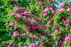 Crataegus Pauls Scarlet blooms. In May Stock Photos
