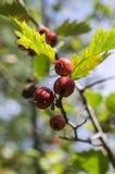 Crataegus pinnatifida, Chinese haw, Chinese hawthorn, Chinese hawberry with fruits. Crataegus pinnatifida, Chinese haw, Chinese hawthorn, Chinese hawberry with Royalty Free Stock Photography