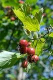 Crataegus pinnatifida, Chinese haw, Chinese hawthorn, Chinese hawberry with fruits. Sunlight, foliage Stock Photo