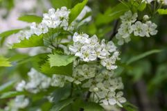 Crataegus pinnatifida chinese hawberry branch white blooming during spring. Group of small flowers Royalty Free Stock Photo