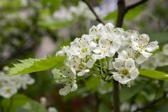Crataegus pinnatifida chinese hawberry branch white blooming during spring. Group of small flowers Stock Photography