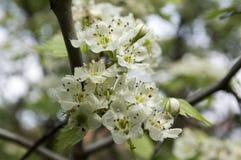 Crataegus pinnatifida Chinese hawberry branch white blooming during spring. Time Royalty Free Stock Images