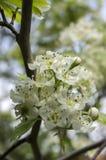 Crataegus pinnatifida chinese hawberry branch white blooming during spring. Time Royalty Free Stock Photos