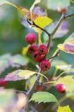 Crataegus pinnatifida, Chinese hawthorn hawberry with red ripened fruits. Crataegus pinnatifida, Chinese haw, Chinese hawthorn, Chinese hawberry with fruits Stock Photo