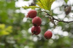 Crataegus pinnatifida, Chinese hawthorn hawberry with red ripened fruits. Branch Royalty Free Stock Image