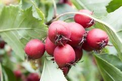 Crataegus pinnatifida, chinesischer Hagedorn, chinesischer Weißdorn, chinesisches hawberry mit Früchten lizenzfreie stockfotografie