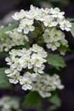 Crataegus pinnatifida ornamental flowering tree with white flowers during springtime, Chinese hawthorn hawberry in bloom. On branches Stock Images