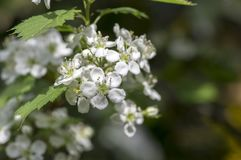 Crataegus pinnatifida ornamental flowering tree with white flowers during springtime, Chinese hawthorn hawberry in bloom. On branches Stock Photos