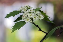 Crataegus pinnatifida ornamental flowering tree with white flowers during springtime, Chinese hawthorn hawberry in bloom. On branches Royalty Free Stock Photo