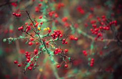 Crataegus sanguinea. In forest, late autumn Royalty Free Stock Photo