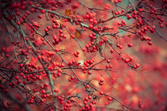 Crataegus sanguinea. In forest, late autumn Royalty Free Stock Images