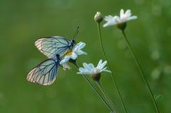 cratagi de Aporia de dois butterflys no orvalho em uma margarida no amanhecer fotos de stock