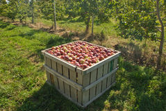 Crate of Apples. Freshly picked apples at orchard Stock Photo