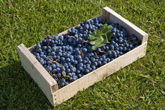 Crate of black grapes Stock Photos