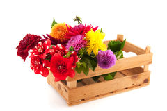 Crate colorful Dahlias. Crate with fresh plucked Dahlias from the garden stock photos