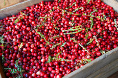 Crate of Cranberries. Create of freshly dry harvested cranberries Stock Photography