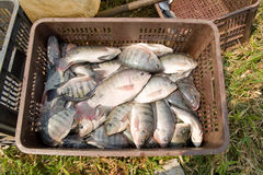 Crate of fresh Tilapia fish Stock Photos