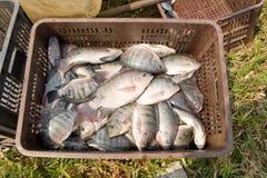 Crate of fresh Tilapia fish Stock Photos