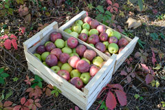 Crate full of apples near a tree Royalty Free Stock Photography