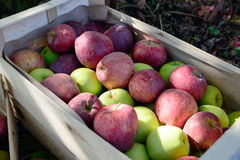 Crate full of apples near a tree Stock Photos