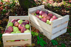 Crate full of apples near a tree Stock Photo