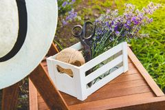 A crate full of freshly cutted lavender flowers over a chair in a lavender field. royalty free stock images