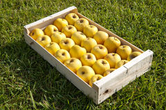 Crate of Golden apples Royalty Free Stock Photos